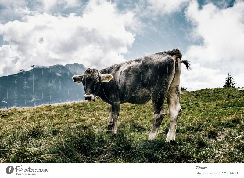 Pitztal cow Mountain Hiking Feasts & Celebrations Nature Landscape Sky Clouds Beautiful weather Grass Alps Farm animal Cow 1 Animal Stand Natural Gray Power