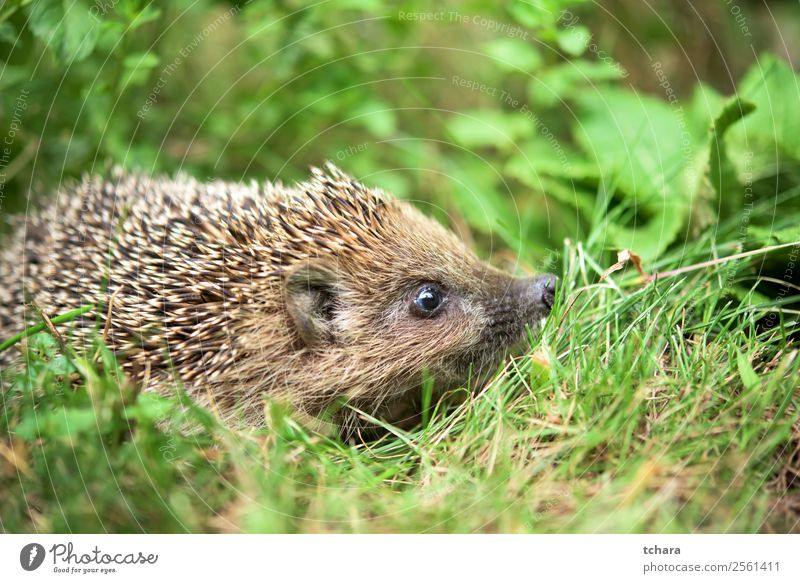 Hedgehog in a garden Garden Art Nature Animal Autumn Grass Moss Leaf Forest Sleep Small Natural Cute Thorny Wild Brown Gray Green Protection European wildlife