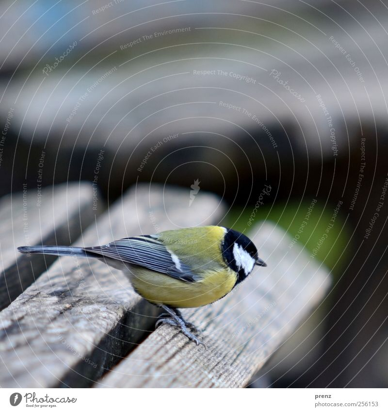 horizontally Nature Animal Wild animal Bird 1 Wood Stand Gray Tit mouse Bench Wooden board Colour photo Exterior shot Deserted Copy Space top Morning