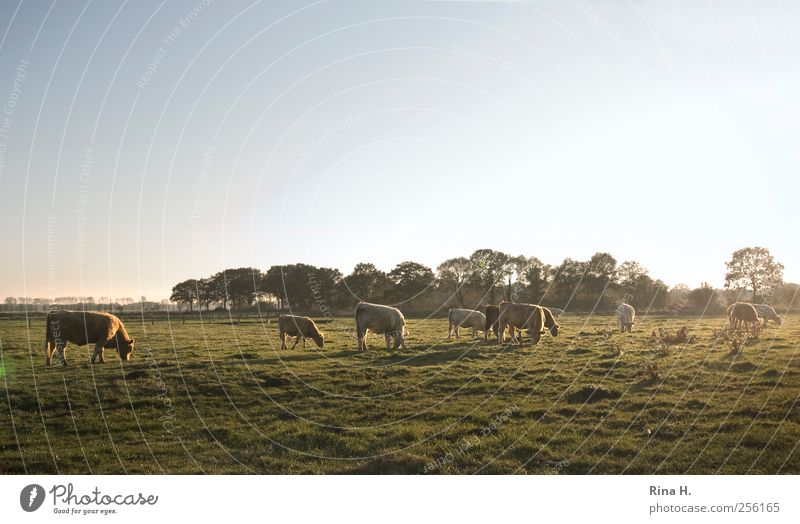 Happy cows Agriculture Forestry Nature Landscape Autumn Meadow Animal Farm animal Cow Group of animals Herd To feed Authentic Natural Green Moody Horizon Fog