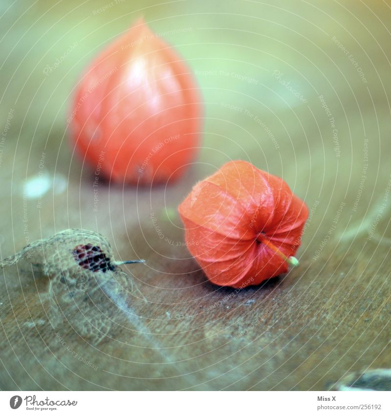 Red Wood Food Fruit Dry Still Life Delicate To dry up Physalis