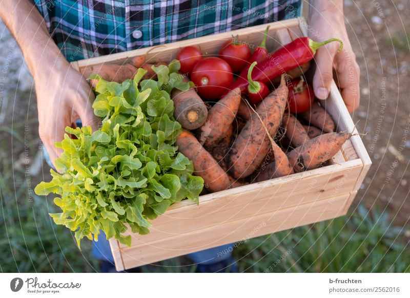 Carry vegetable box Food Vegetable Lettuce Salad Organic produce Vegetarian diet Healthy Healthy Eating Agriculture Forestry Man Adults Hand Fingers 1