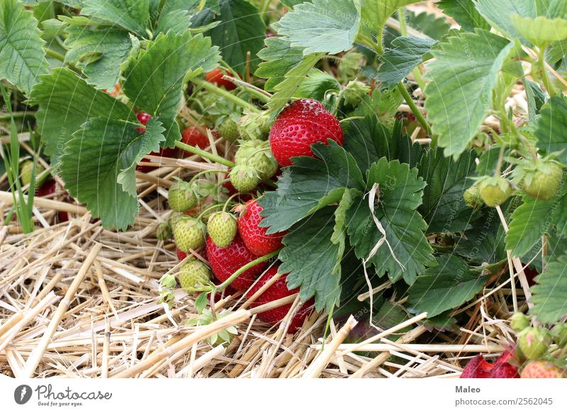 strawberries Strawberry Berries Field Harvest Agriculture Bundle Bushes Delicious Nutrition Food Fresh Garden Green Healthy Eating Landscape Leaf Mature Summer