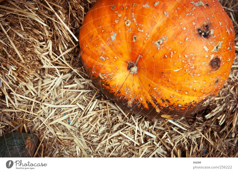 Autumn Feasts & Celebrations Orange Natural Food Large Decoration Cute Round Vegetable Fat Organic produce Autumnal Hallowe'en Straw Pumpkin