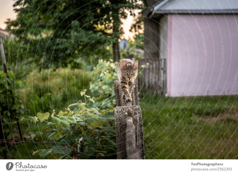 Cat walking on a wooden fence Nature Animal Garden Action Farm Athletic Fence Pet Balance Strange Aggression Rural Large-scale holdings Smart Farm animal