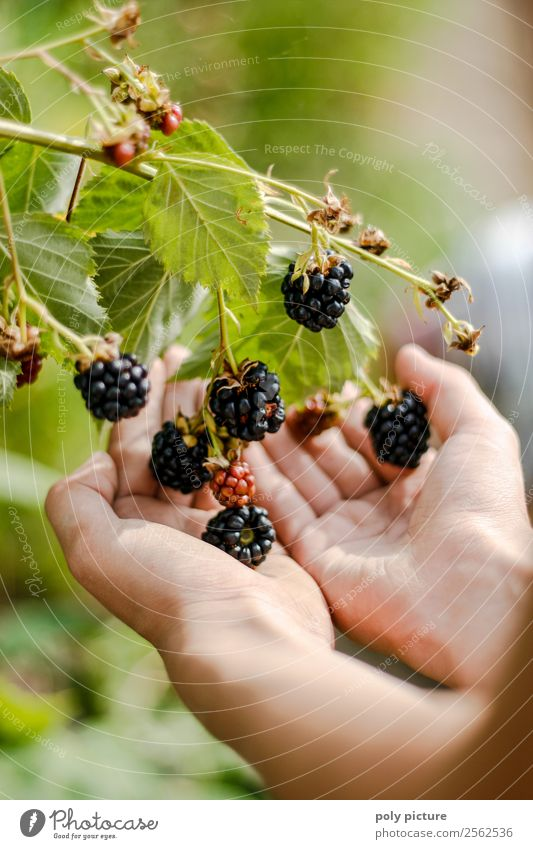 Child's hand holds blackberries Healthy Eating Leisure and hobbies Playing Girl Boy (child) Young woman Youth (Young adults) Young man Infancy Adults Hand