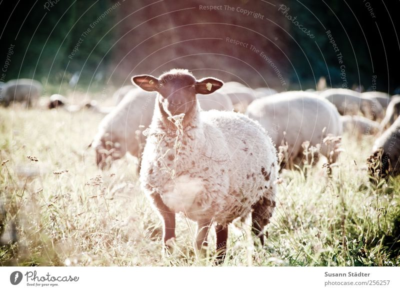 please speak into the flower now! Environment Nature Meadow Field Animal Wild animal Animal face Herd Blossoming Sheep Flock Interest Curiosity flowery Flower