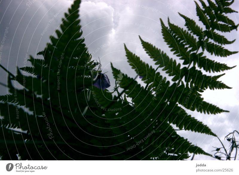 fern Pteridopsida Nature Plant