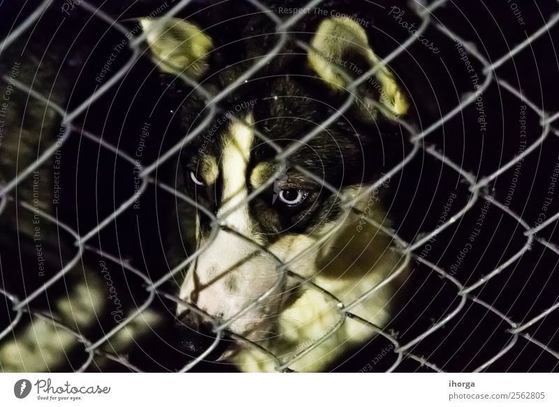 Closeup of a husky dog looking through the bars of a cage Face Animal Fur coat Pet Dog 1 Sadness Wait Cute Loneliness Society Abandon Behind Breed Cage