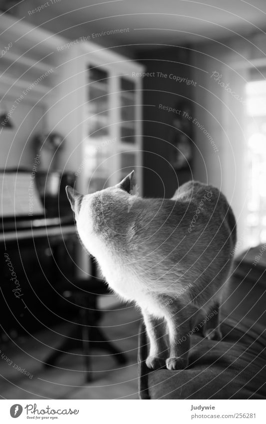 A look back Calm Living or residing Flat (apartment) Sofa Living room Piano Animal Pet Cat Stand Wait Moody Attentive Curiosity Wanderlust Pure Stagnating Dream