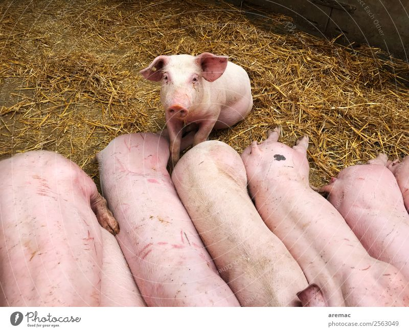 Young pigs on straw Meat Agriculture Hay Straw Barn Animal Farm animal Swine Group of animals Baby animal Pink Colour photo Exterior shot Aerial photograph Day