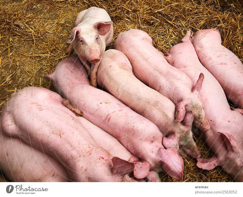Pigs in the barn Animal Farm animal Swine Barn Hay Straw Group of animals To feed Feeding Pink Meat Livestock breeding Colour photo Exterior shot