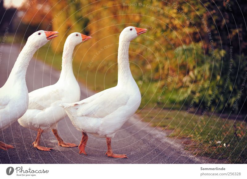 single file Hiking Environment Nature Summer Autumn Overland route Grass Road traffic Pedestrian Street Lanes & trails Pet Farm animal Wing Goose