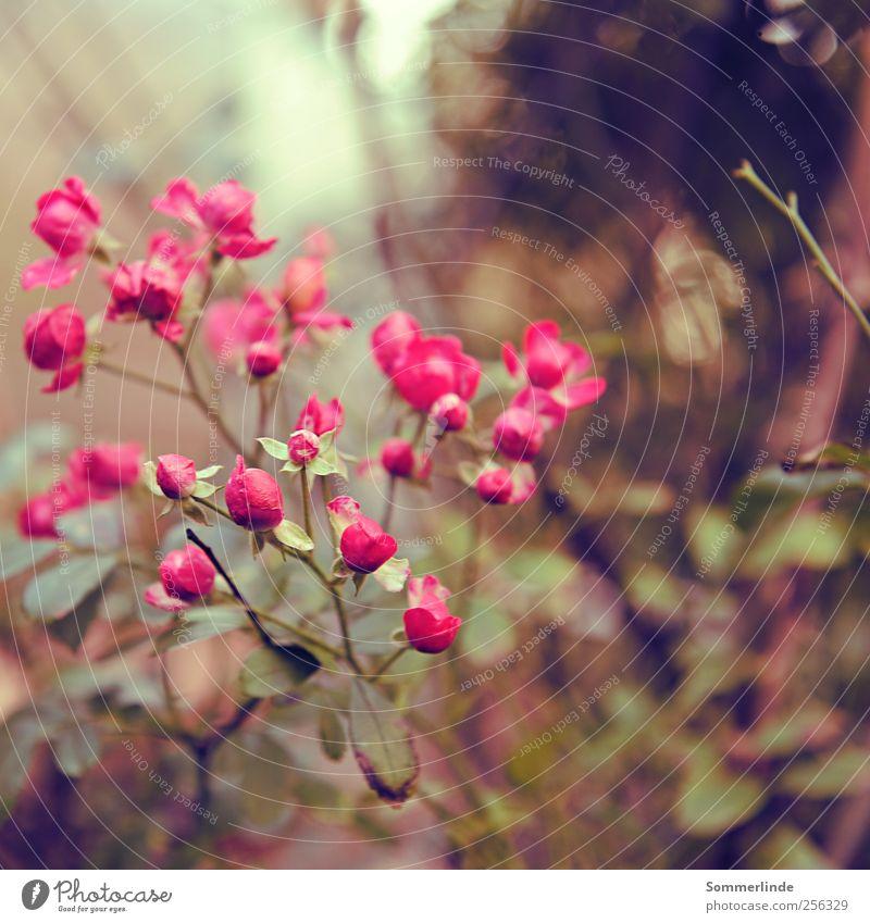 Nature Beautiful Plant Summer Flower Environment Autumn Garden Spring Park Pink Growth Romance Rose Kitsch Pure