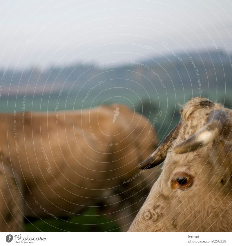 Inequalities II Nature Landscape Autumn Meadow Field Pasture Cattle Pasture Animal Farm animal Cow Animal face Pelt Antlers Eyes Eyelash Livestock 2 Looking