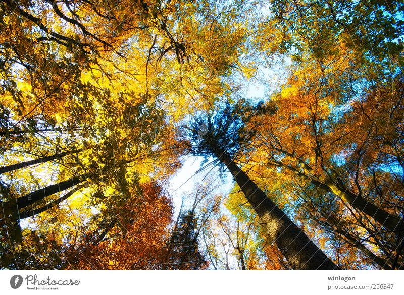 treetops Nature Yellow Gold Green Red Black White Moody Joy Sky Forest Autumn Autumnal Tree Tree trunk Treetop Multicoloured Leaf Deciduous forest Seasons Brown