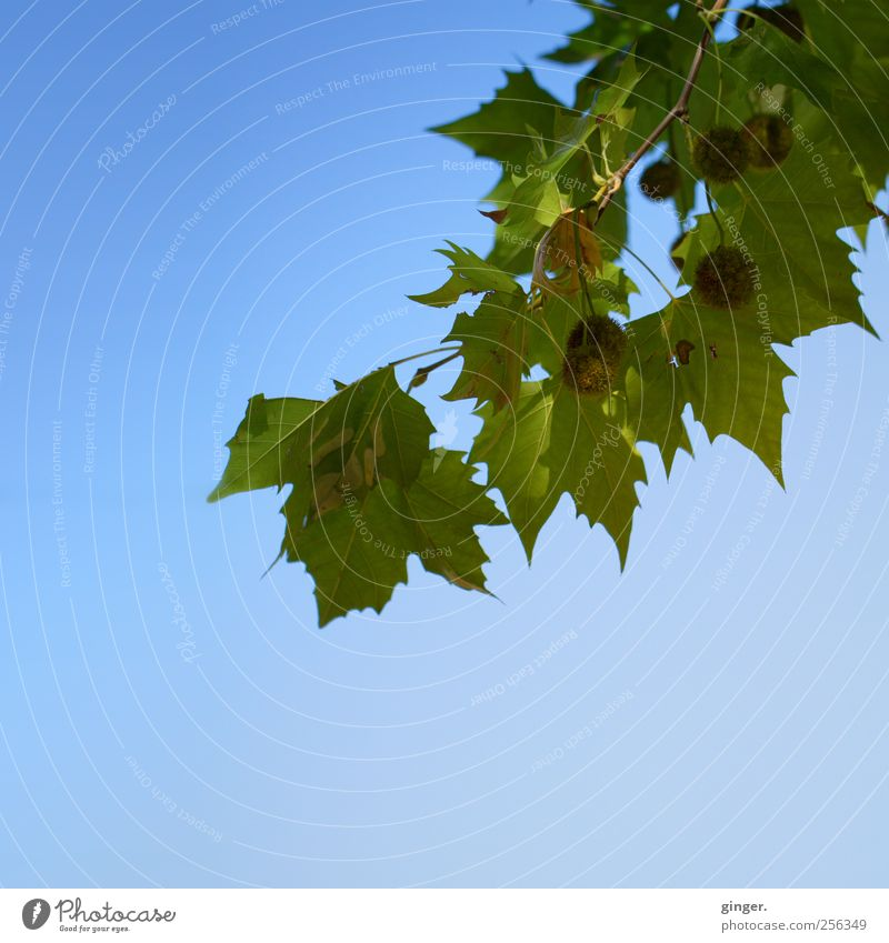 sunshine autumn Environment Nature Plant Sky Cloudless sky Autumn Weather Beautiful weather Tree Leaf Blue Green Branch Fruit Hang Colour photo Exterior shot