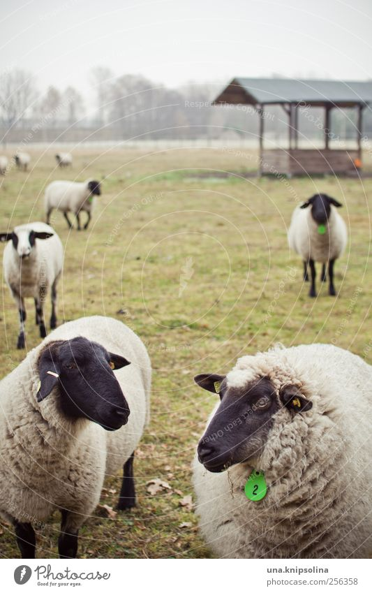 count sheep... Environment Nature Plant Animal Bad weather Fog Meadow Field Pasture Farm animal Sheep Herd Observe Stand Together Natural Round Green Black