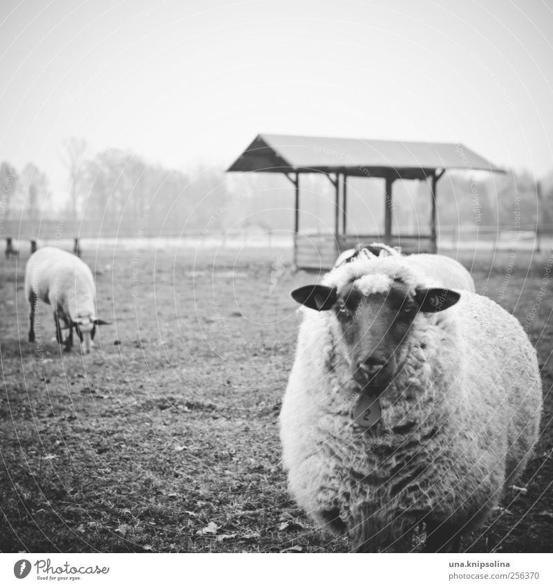 Nature Animal Meadow Environment Field Fog Natural Stand Round Soft Curiosity Animal face Pasture Sheep To feed Bad weather
