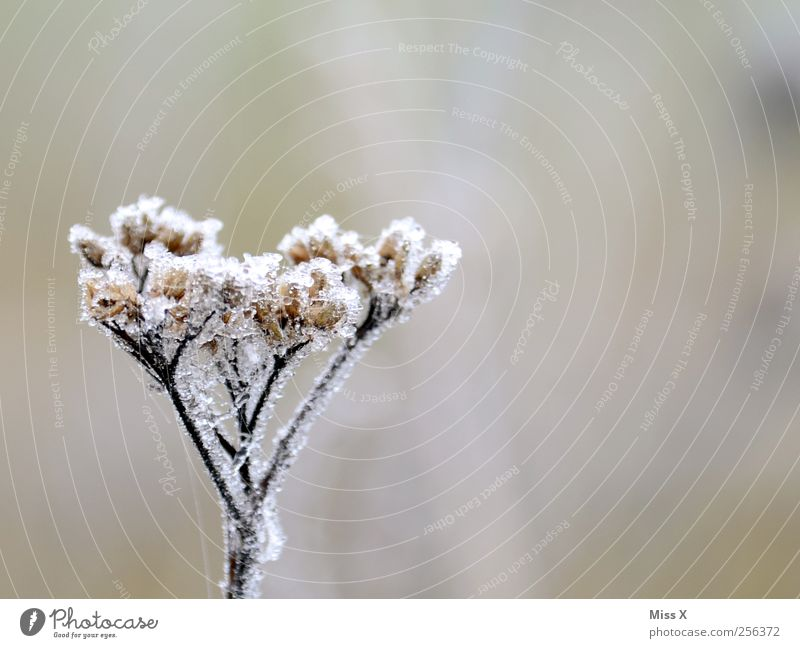 freezing cold Nature Plant Winter Bad weather Ice Frost Flower Blossom Cold Broken Transience Hoar frost Colour photo Subdued colour Exterior shot Close-up