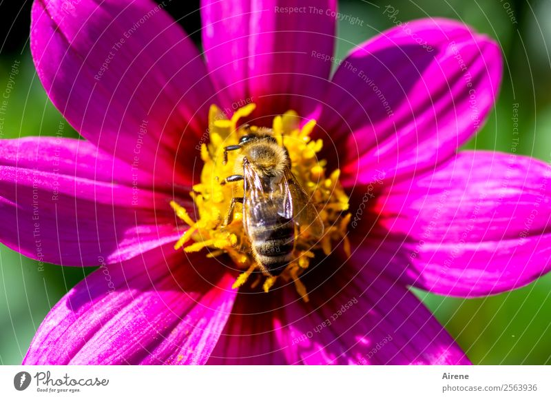 Found food Flower Bee 1 Animal Pollen Flying To feed Crawl Fragrance Natural Yellow Gold Pink Joie de vivre (Vitality) Nature Diligent Purple Colour
