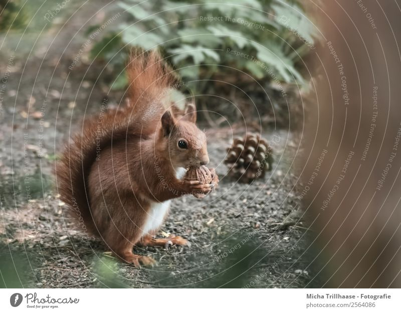 Squirrel with walnut Fruit Nature Animal Sun Sunlight Beautiful weather Plant Tree Wild plant Fir cone Walnut Forest Wild animal Animal face Pelt Claw Paw