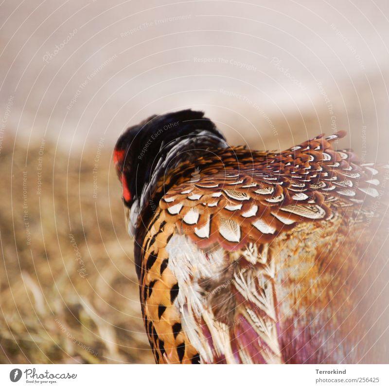 Spiekeroog, secretly. Pheasant Island Ocean Grass Feather Earth Nature Brown Black White Beige Red Sand hidden.