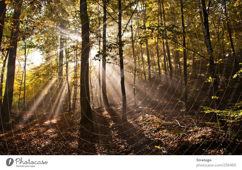 Autumn in the Woods Nature Beautiful Tree Sun Leaf Forest Environment Landscape Bright Fog Beautiful weather Natural phenomenon Glare effect