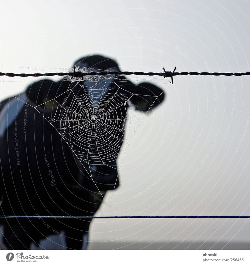 moo Animal Farm animal Cow 1 Spider's web Barbed wire Nature Vail Anonymous Subdued colour Exterior shot Copy Space right Morning Animal portrait