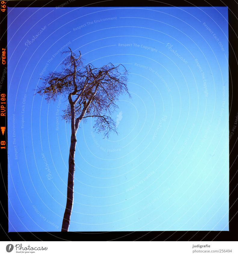 western beach Sky Cloudless sky Tree Growth Blue Nature Environment Bleak Treetop Colour photo Exterior shot