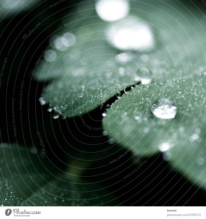 Pearls in front of the pigs Environment Nature Plant Water Drops of water Spring Leaf Foliage plant Dew Garden Park Meadow Cold Wet Green Moistened Damp