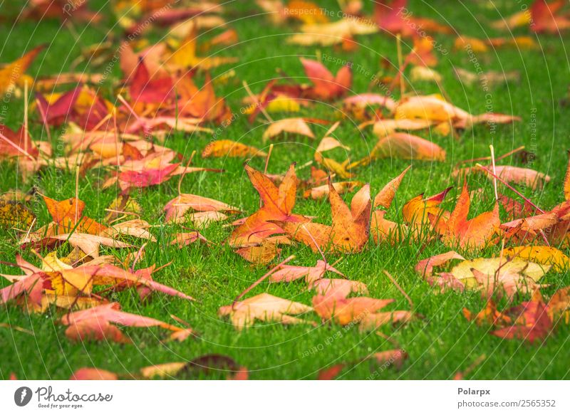 Golden maple leaves on a green lawn Design Beautiful Garden Nature Landscape Plant Autumn Tree Grass Leaf Park Bright Natural Yellow Green Red Colour fall Lawn