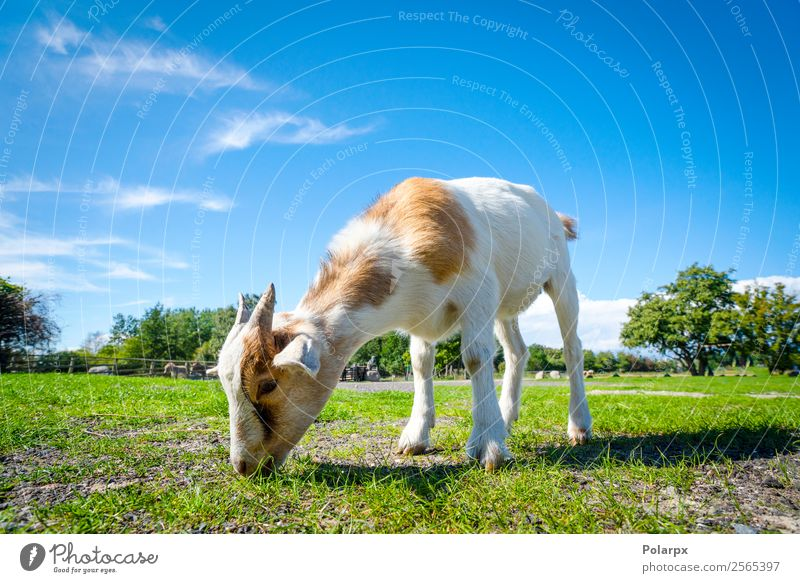 Goat eating fresh green grass at a farm in the spring Eating Beautiful Summer Baby Nature Landscape Animal Spring Grass Meadow Fur coat Pet To feed Small Cute