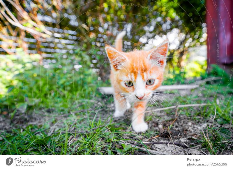 Cute kitten in orange color playing in the backyard Cat Nature Summer Beautiful Green Red Animal Joy Yellow Funny Meadow Happy Grass Small Garden Playing