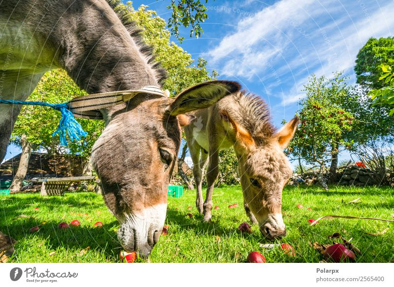 Donkeys eating red apples from a lawn Sky Nature Summer Green Landscape Animal Face Funny Meadow Happy Grass Brown Fruit Vantage point Europe Cute