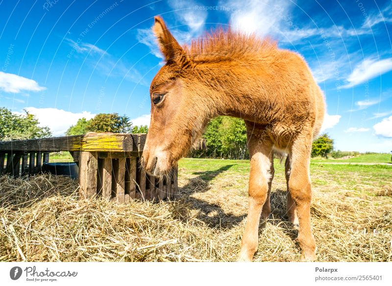 Foal eating hay at a farm in the summer Nature Summer Beautiful Green Animal Eating Natural Grass Small Brown Stand Cute Horse Farm Pasture Fence
