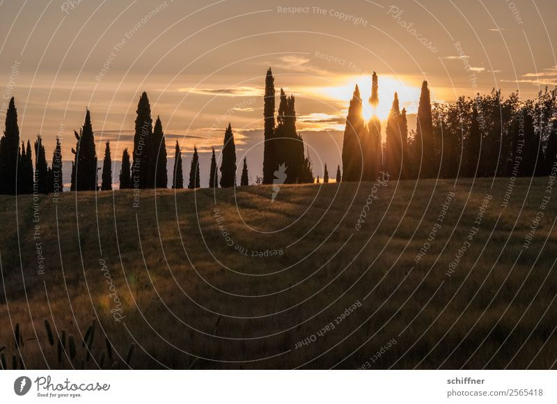 Tuscan dental arch III Nature Landscape Plant Sun Sunrise Sunset Summer Beautiful weather Tree Meadow Field Yellow Orange Red Black Row Row of trees Cypress