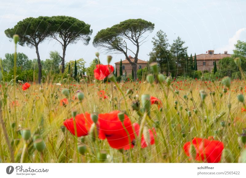 Poppy field in Tuscany Landscape Plant Tree Agricultural crop Field House (Residential Structure) Red Italy Poppy blossom Poppy capsule Poppy leaf Cypress
