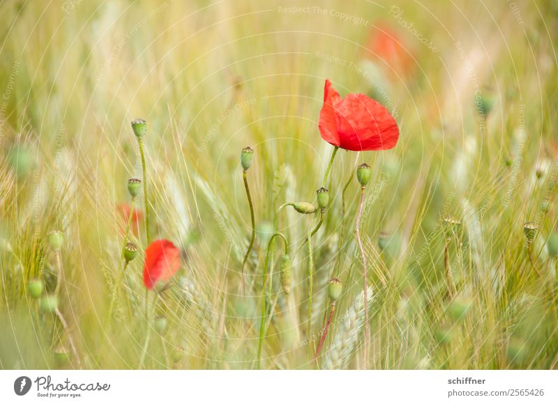 I dont like Mohndays VI Nature Plant Summer Flower Agricultural crop Field Green Red Poppy Poppy blossom Poppy field Poppy capsule Grain field Crops Wheat