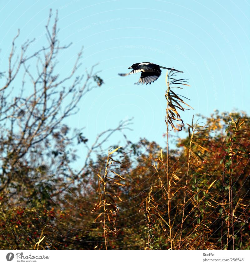 At high speed Nature Landscape Cloudless sky Autumn Beautiful weather Bushes Animal Bird Black-billed magpie Wing Flying Free Speed Blue Freedom Dynamics