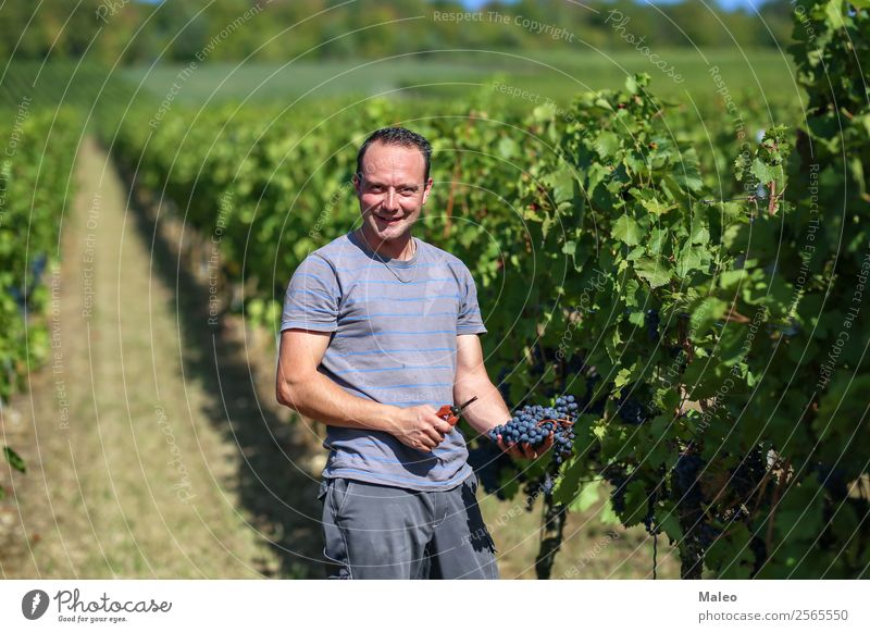 grape harvest Harvest Bunch of grapes Wine press Winegrower Stomping grapes Wine growing Grape harvest Vineyard Work and employment Agriculture Autumn Landscape