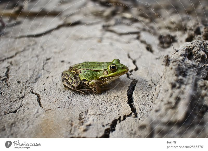 frog stays frog Climate Climate change Drought Animal Frog 1 Life Thirst Environment Crack & Rip & Tear Mud Green Wait Small Colour photo Exterior shot