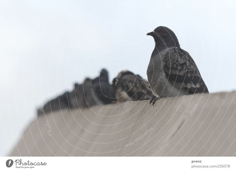 Pigeons in the middle Environment Animal Sky Town Wall (barrier) Wall (building) Wild animal Group of animals Sit Gray Bird Concrete Colour photo Exterior shot