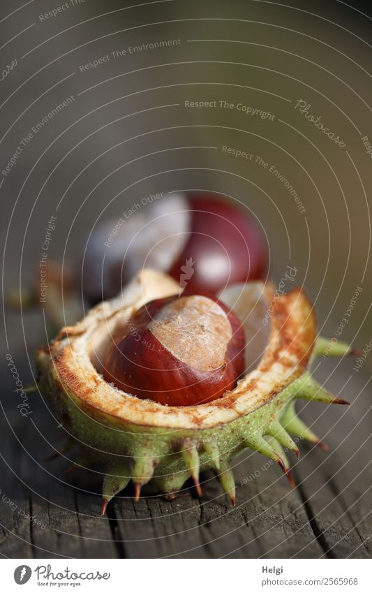 ripe chestnuts in an open spiny shell on an old wooden table Environment Nature Plant Autumn Chestnut Sheath Park Lie Uniqueness natural Brown Gray green White