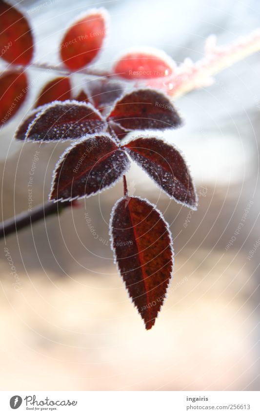 Nature Blue Beautiful Plant Red Winter Leaf Life Cold Garden Ice Pink Natural Frost Romance Seasons