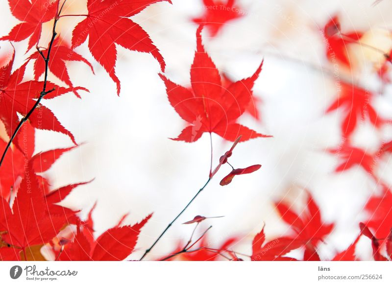 red Nature Plant Autumn Tree Esthetic Red Leaf Colouring Twig Maple leaf Japan maple tree Colour photo Deserted Day Shallow depth of field