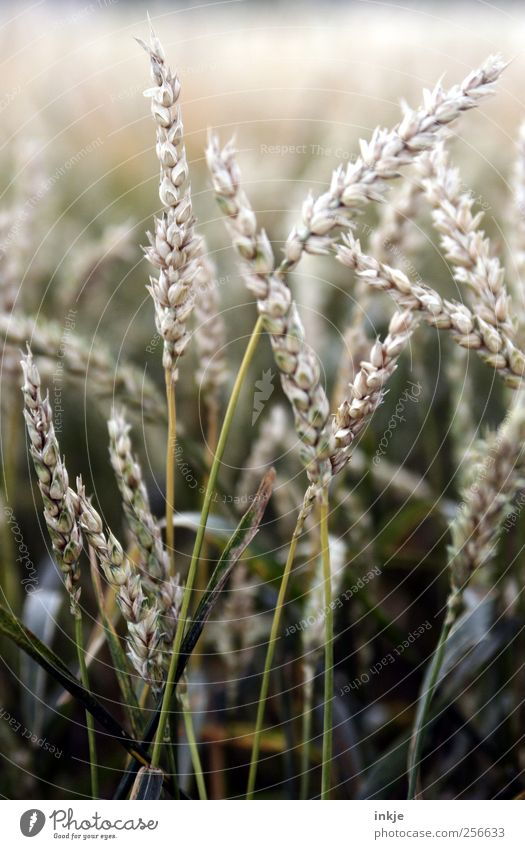 wheat Grain Nutrition Vegetarian diet Agriculture Forestry Autumn Plant Grass Agricultural crop Grain field Wheat Wheatfield Wheat ear Wheat grain Field Thin