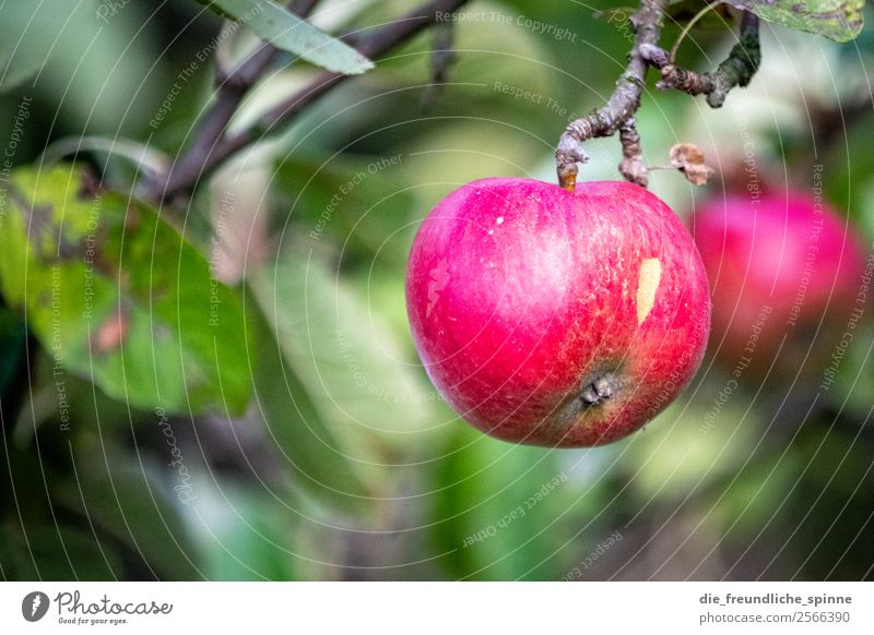 Apple on tree Apple tree Green Tree Colour photo Fruit Nature Exterior shot Deserted Summer Fruity Plant Garden Leaf Shallow depth of field Healthy