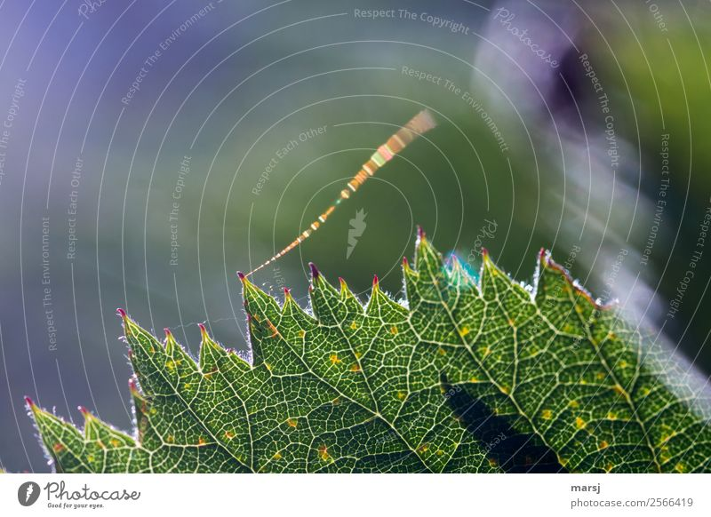 Nature Summer Green Leaf Exceptional Illuminate Fresh Glittering Authentic Uniqueness Rachis Spider's web Wood grain Tracer path Translucent Blackberry leaf