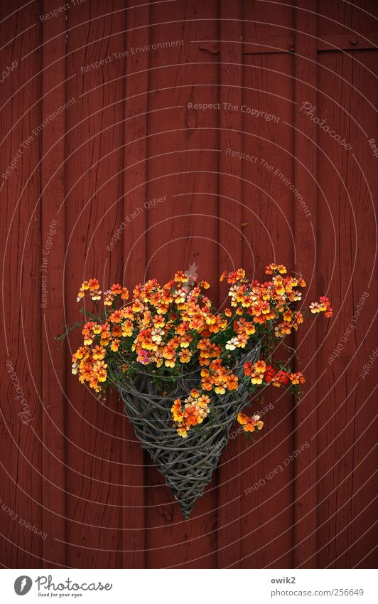 Beautiful Red Plant Flower Yellow Wall (building) Small Blossom Wall (barrier) Orange Natural Exceptional Living or residing Many Idyll Friendliness